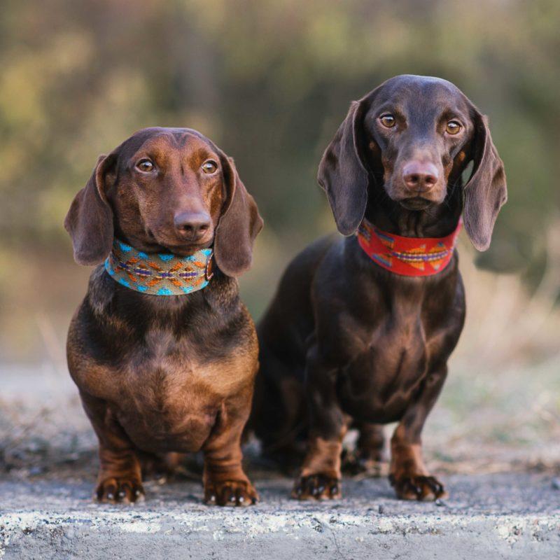 Buddys Hundehalsband Etna 2 Dackel